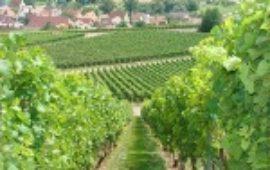 Хорошее вино начинается с виноградника