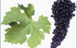 Сорт винограда, покоривший мир