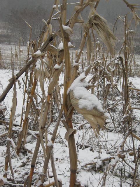 Кукурузное поле зимой