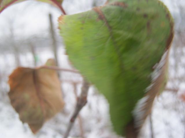 Зеленый лист зимой