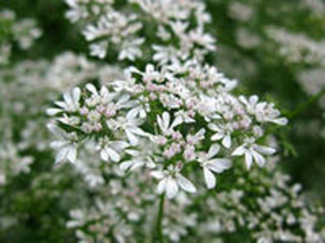 Цветы кориандра (кинзы)