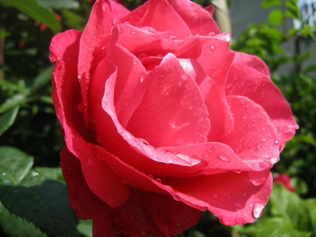 Роза, фото