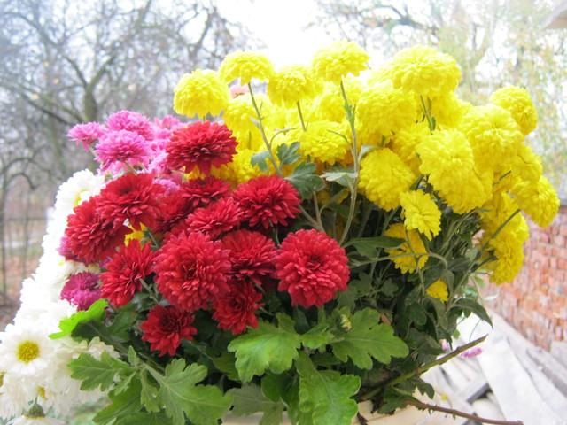 Бордюрные хризантемы, фото