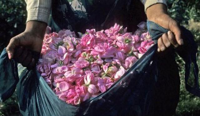 Собранные лепестки роз