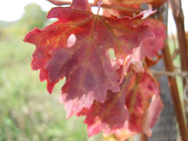 Красные виноградные листья