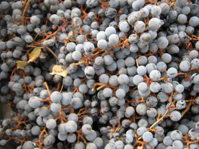 Вино из винограда делаем из Каберне Совиньон