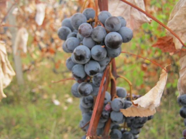 Виноград Каьерне Совиньон