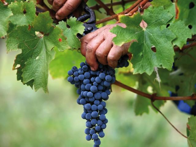 Срезка грозди винограда Каберне Совиньон секатором