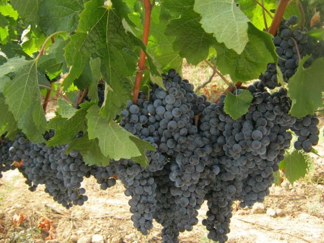 Сбор винограда: завораживающее волшебное действо