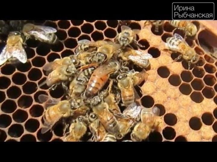 Миниатюра к статье Что такое пчелиное маточное молочко и как его принимать с пользой для здоровья?