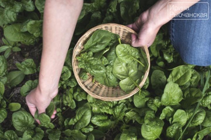 Миниатюра к статье Как заморозить шпинат на зиму и что из него приготовить