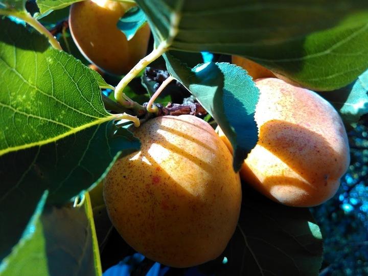Простой рецепт компота из абрикосов на зиму